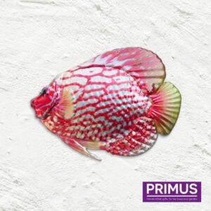 Muurdecoratie Vis - Discus Fish